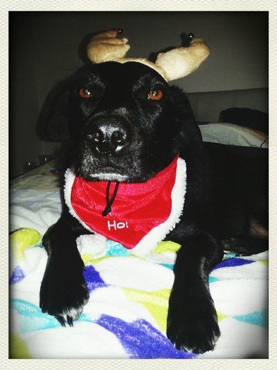 Lia-Naomie ♡ Blacklabrador Labrador Lab Appenzeller