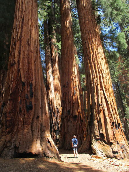 Massive Tiny Man Tree Tree Trunk Trees Beauty In Nature Impressive View Redwood Trees Redwoods