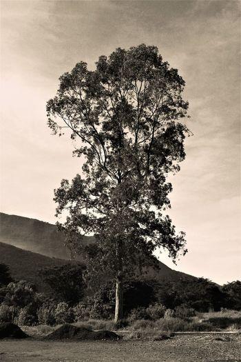 Arbol Blackandwhite Isolated Landscape Lone Nature Scenics Tranquility Tree