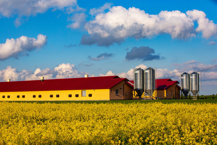 Yellow flowers growing on field by houses against sky