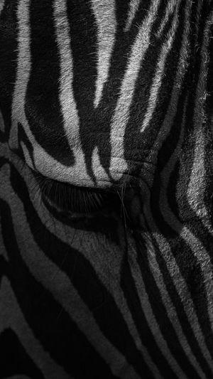 Full frame shot of a zebra