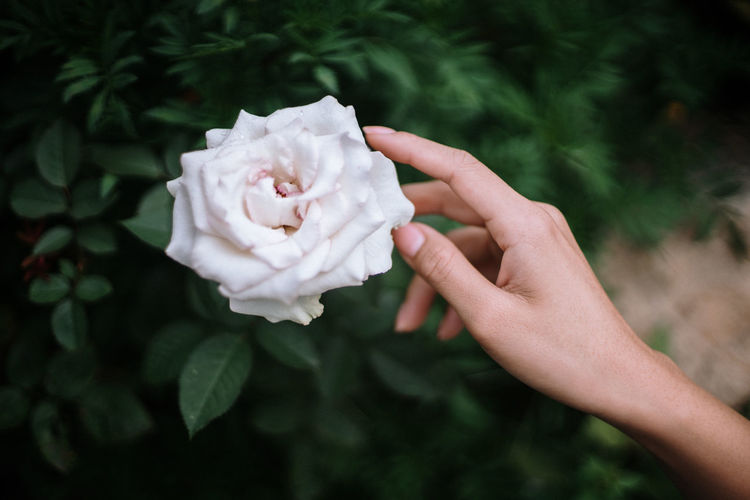 Close-up of hand holding rose flower