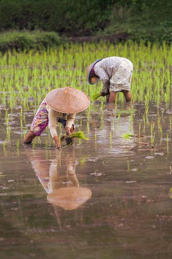 Female farmers working in rice field
