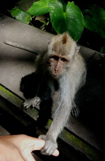High angle view of monkey holding human finger in forest