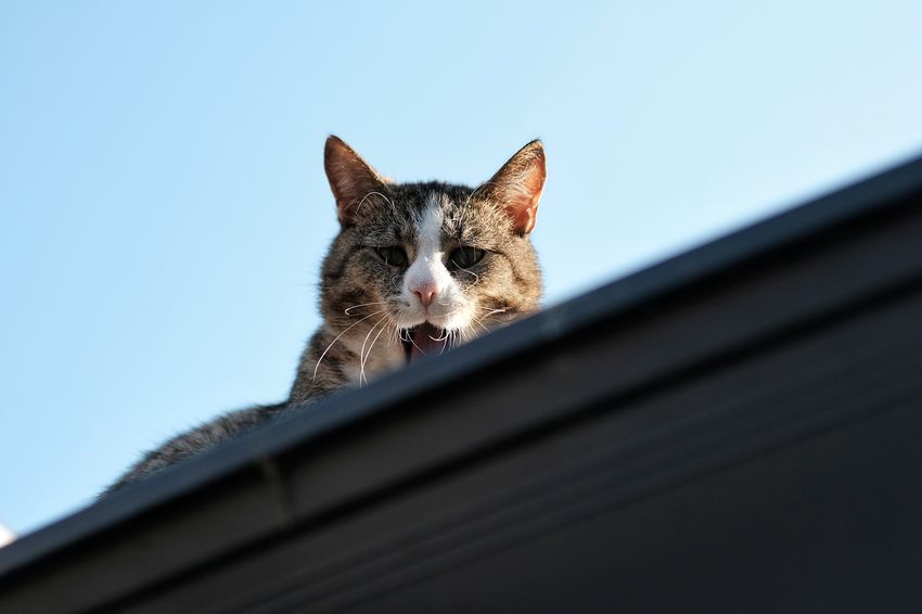 """""""on the rooftop"""" Cat Low Angle View Pets Portrait Domestic Cat Looking At Camera German Shepherd Alertness Tortoiseshell Cat Whisker Domestic Animals Animal Face"""