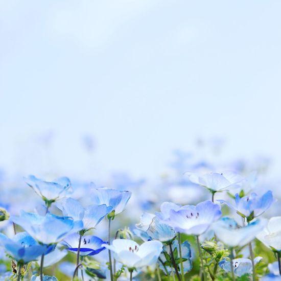 Heaven Bloom Flowers Blue BabyBlueEyes Nemophila