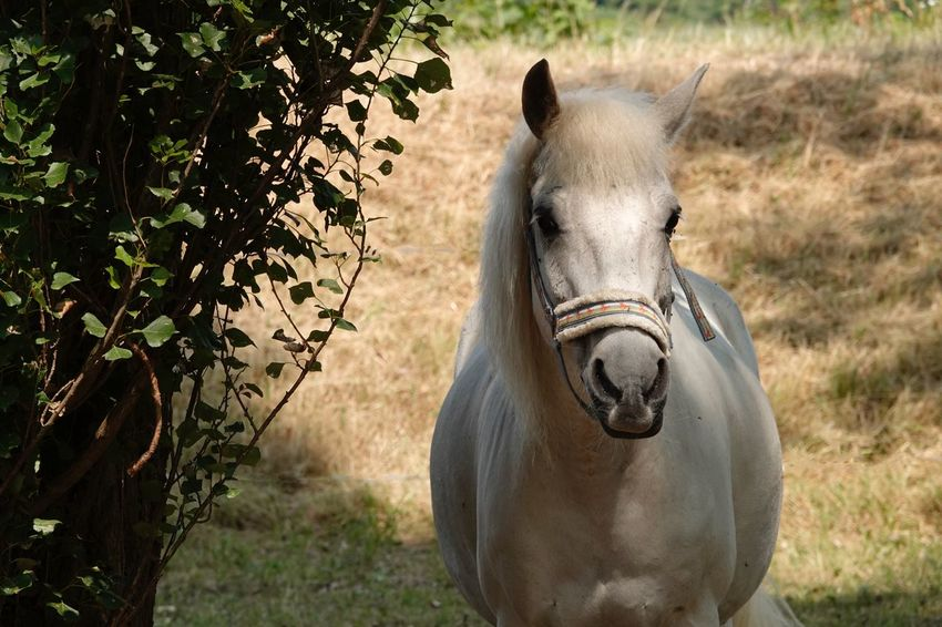Horse Photography  Juli 2018 White Horse Horse Looking At Camera EyeEm Selects Animal Animal Themes One Animal Mammal Animal Wildlife Plant Nature Animals In The Wild Animal Body Part Portrait Domestic Animals Sunlight Vertebrate No People Animal Head  Field Land Outdoors Tree Day