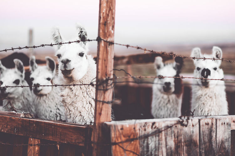 Close-Up Of Llamas Behind A Fence