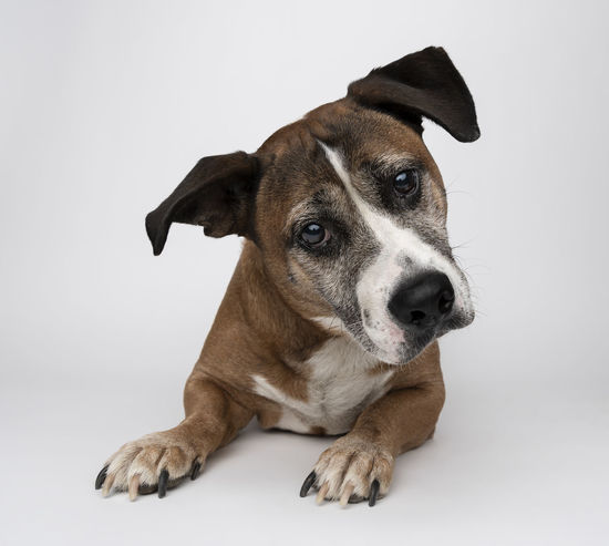 Animal Animal Themes Canine Dog Domestic Domestic Animals Indoors  Jack Russell Terrier Looking Looking At Camera Mammal No People One Animal Pets Portrait Purebred Dog Relaxation Sitting Studio Shot Vertebrate White Background