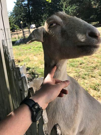 Farmlife goat,