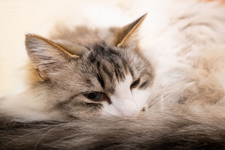 Close-up of cat resting