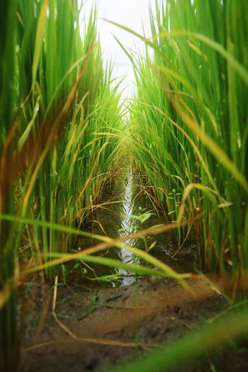 แถวข้าวเขียวขจี Water Agriculture Close-up Grass Green Color Plant