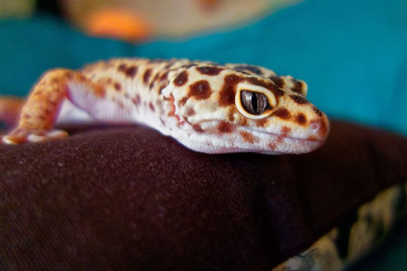 Larsson the Leopard Gecko Larsson Leopard Gecko Lizard Animal Themes Animal Wildlife Close-up Day Gecko Indoors  Larsson Nature No People One Animal Reptile