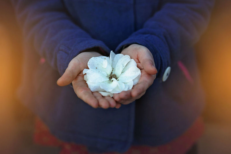 For You Blue The Portraitist - 2016 EyeEm Awards Childhands Close-up Cropped Flower Flower Head Focus On Foreground Fragility Freshness Gift Girlinbluejacket High Angle View Holding Human Hand Indoors  LauraDrakeEnberg Nature's Beauty Part Of Person Petal Selective Focus Single Unrecognizable Person White