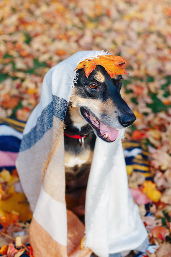 Dog with textile on head sitting outdoors during autumn
