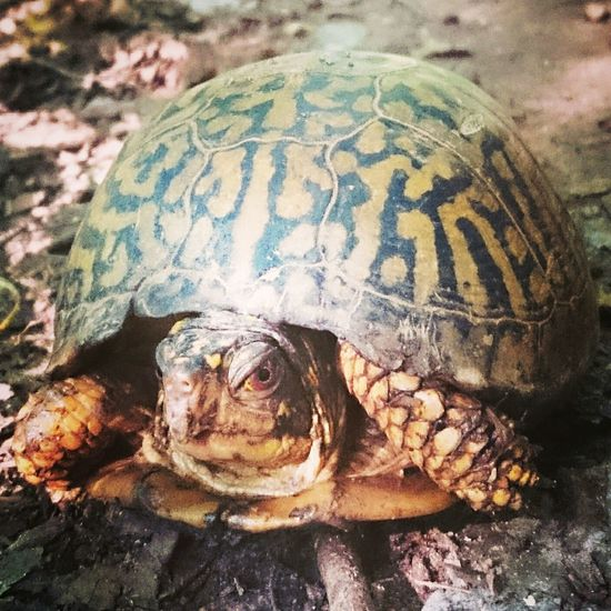 Turtle Turtle 🐢 Turble Nature Betweenworlds Beauty In Nature Spirit Soul Nature Spirits Elemental Eastern Box Turtle River