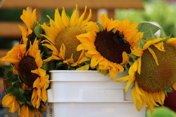 Sunflowers in bucket at market for sale