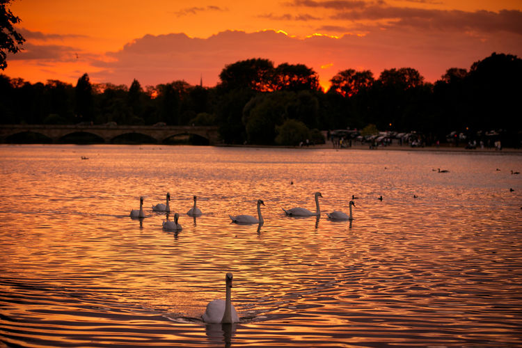 London Swans Animal Animal Themes Animal Wildlife Animals In The Wild Beauty In Nature Bird Floating On Water Flock Of Birds Group Of Animals Hyde Park Hyde Park, London Lake Nature No People Orange Color Outdoors Scenics - Nature Sky Sunset Swan Swans On The Lake Water Waterfront #FREIHEITBERLIN The Great Outdoors - 2018 EyeEm Awards Autumn Mood
