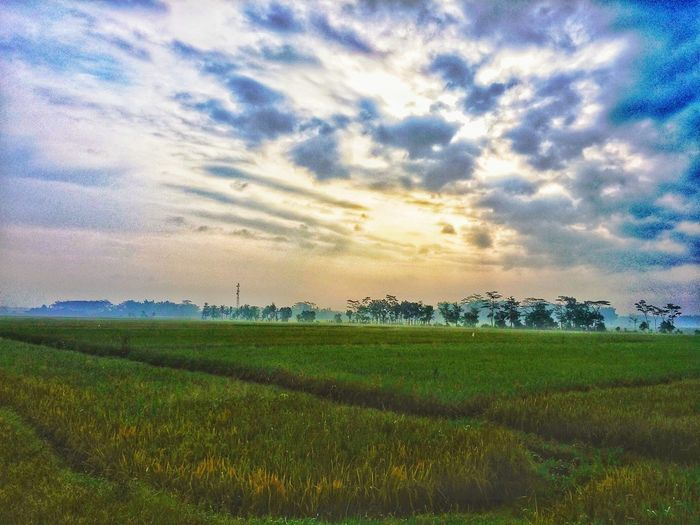Rural Scene Rice Paddy Agriculture Cereal Plant Field Sunset Sky Landscape Cloud - Sky Grass Cultivated Land Farmland Farm Rice - Cereal Plant Terraced Field Plantation Agricultural Field Crop