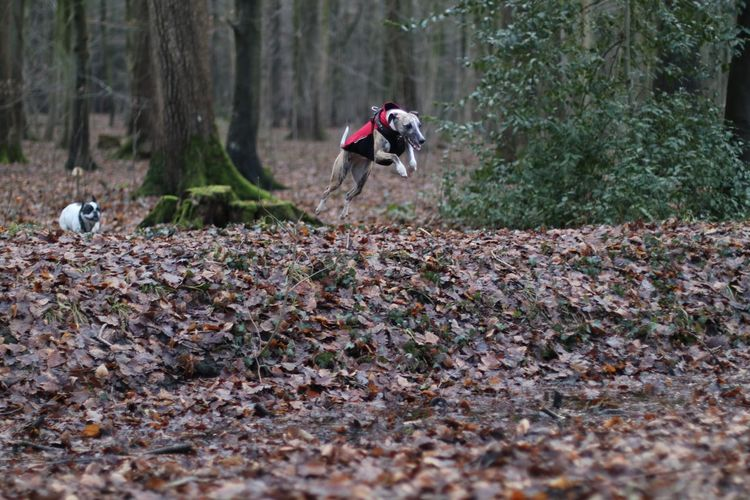 Two dogs running in the forest
