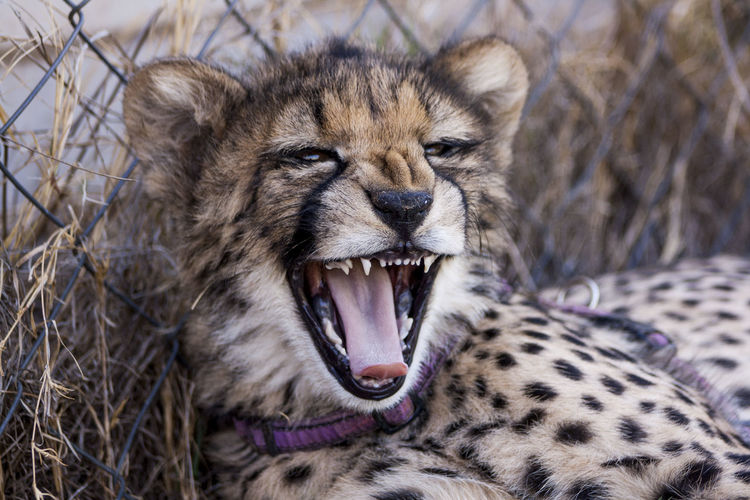 Close-Up Of Cheetah Yawning