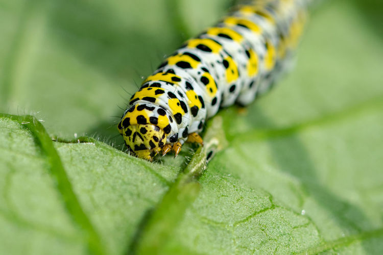 Mullein Moth Mullein Moth Caterpillar Animal Animal Markings Animal Themes Animal Wildlife Animals In The Wild Caterpillar Caterpillars  Close-up Day Green Color Insect Invertebrate Leaf Nature No People One Animal Outdoors Plant Plant Part Selective Focus Spotted