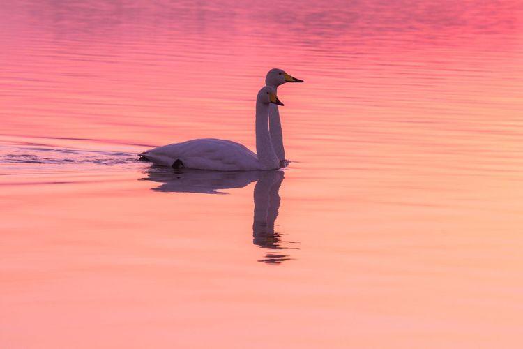 Animal Themes Bird Lake Swan