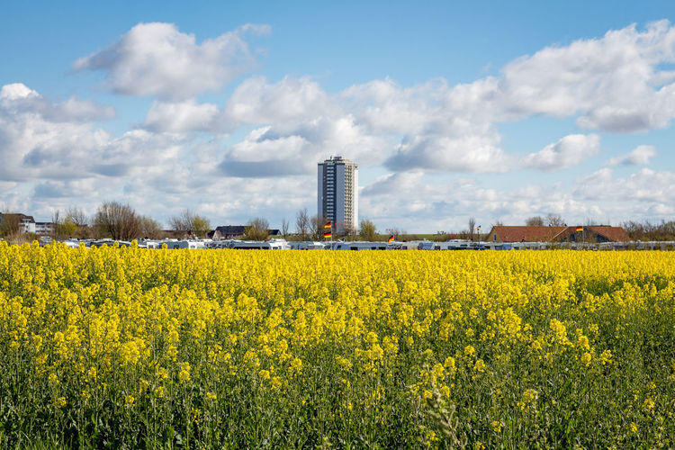 Yellow flowers growing on field by buildings against sky