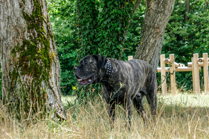 Animal Animal Photo Beautiful Big Dog Brindle Cane Corso Cute Cute Pets Dog Dog Photography Dog Portrait Exploring Exploring New Ground Hiking Lovely Mastiff My Dog Nature One Animal Outdoors Pet Playing Portrait Pure Breed Water