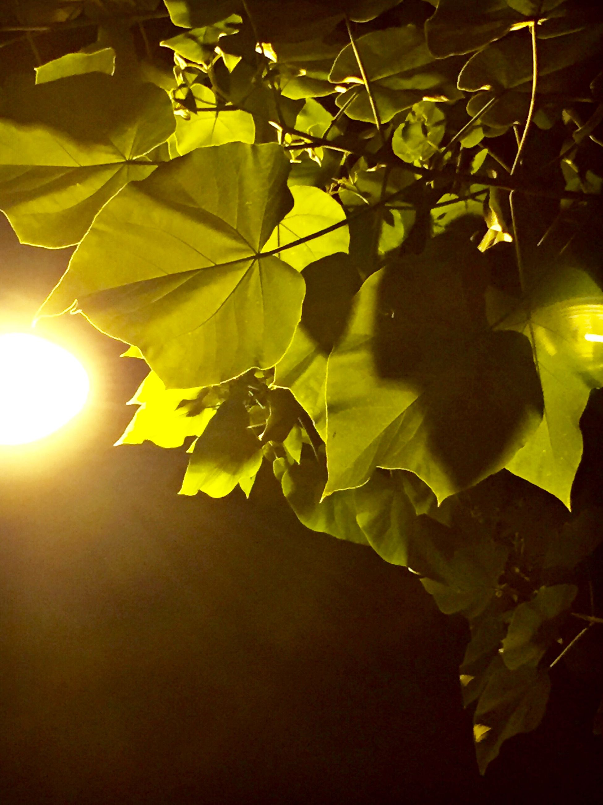 leaf, tree, branch, growth, sunlight, nature, green color, low angle view, leaves, beauty in nature, sun, night, close-up, tranquility, sunbeam, plant, no people, outdoors, leaf vein