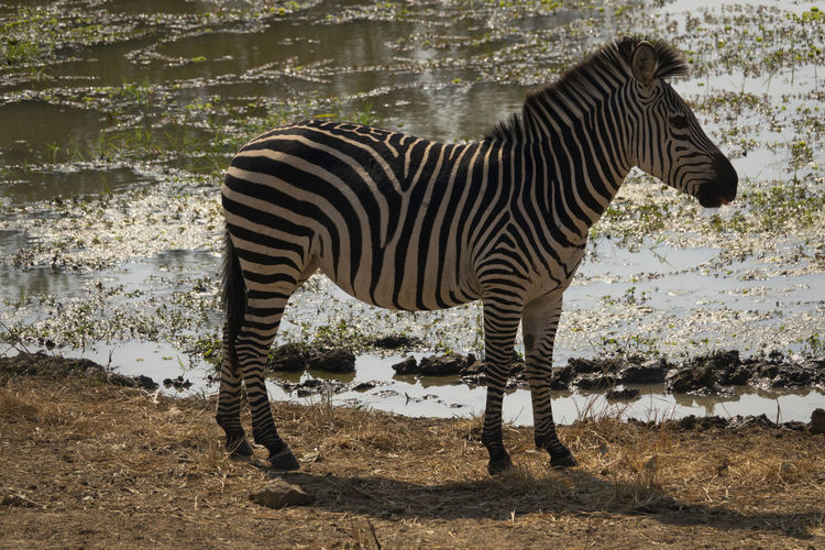 Side view of zebra standing on field by lake