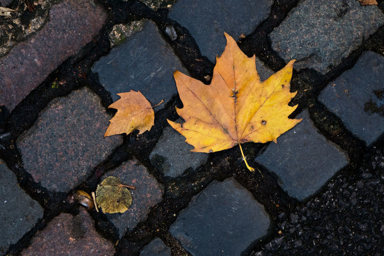 Close-up of autumn maple leaves on cobbled street