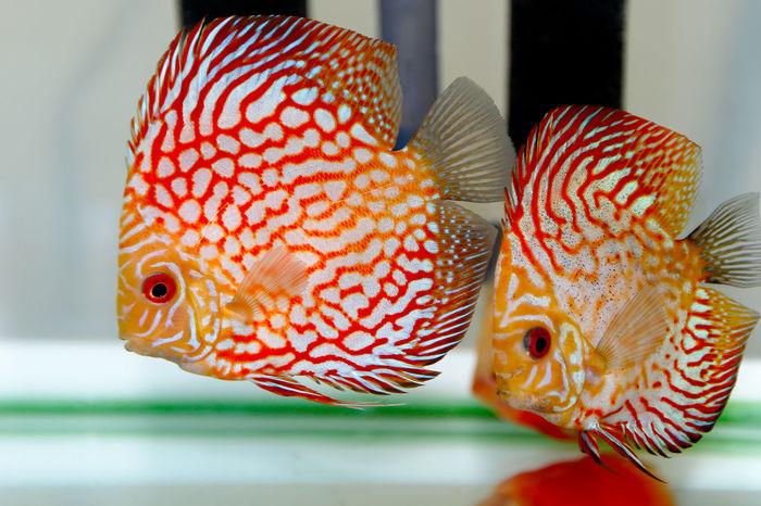Discus Discus Fish Fish Happy Fish! Nature Red Red Eye Red Strain Redish Underwater Wild