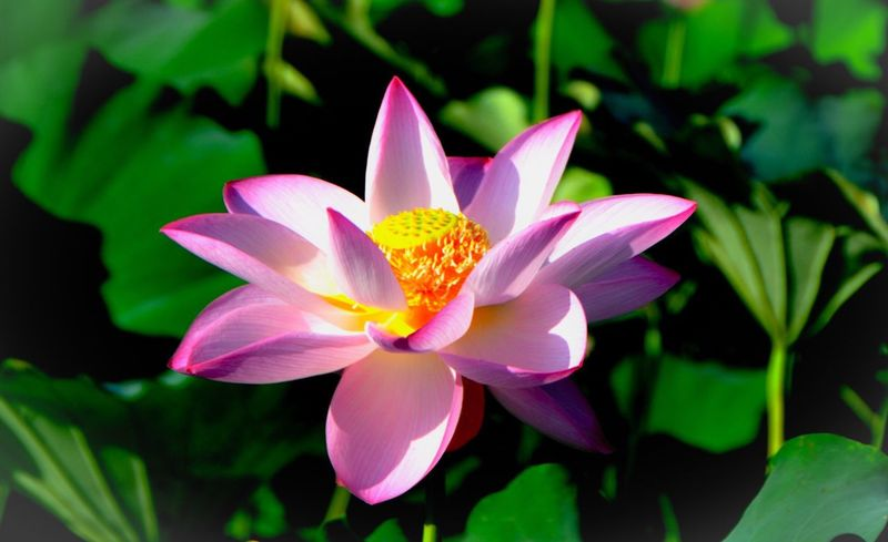 Summer ☀ Flowers, Nature And Beauty Lotus Flower Close Up Flower Flower Blooming Flower Collection Relaxing