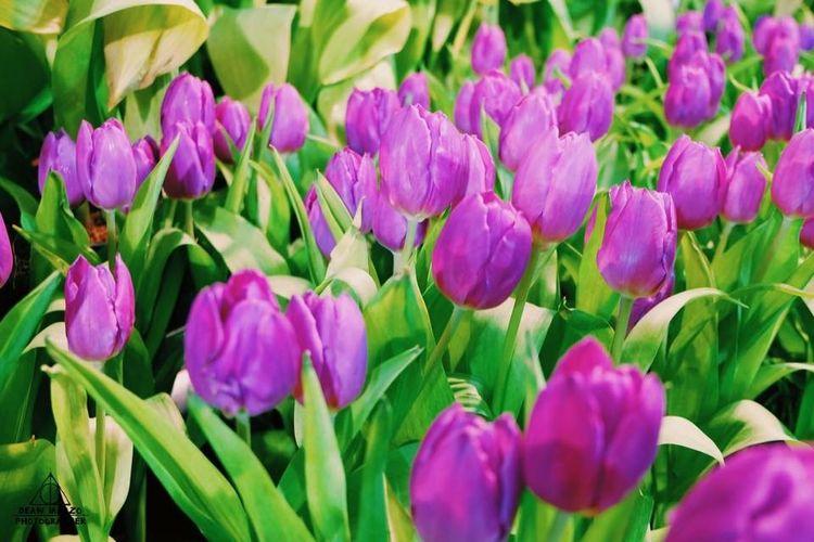 Nature Tulips