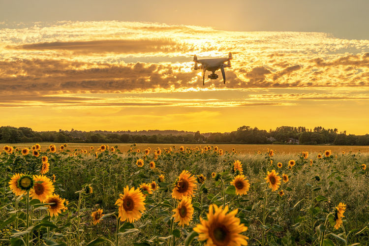 down on the farm, sunflowers and drones Aerial Shot Drone  Farm Life Farmland Quadcopter Sunflower Sunset_collection Aerial Photography Beauty In Nature Cloud - Sky Crop  Drone Photography Droneshot Farming Field Flower Flower Head Flowering Plant Growth Land Nature No People Outdoors Plant Sky Sunflower Photography Sunflowers Field Sunset Uav Drones Yellow