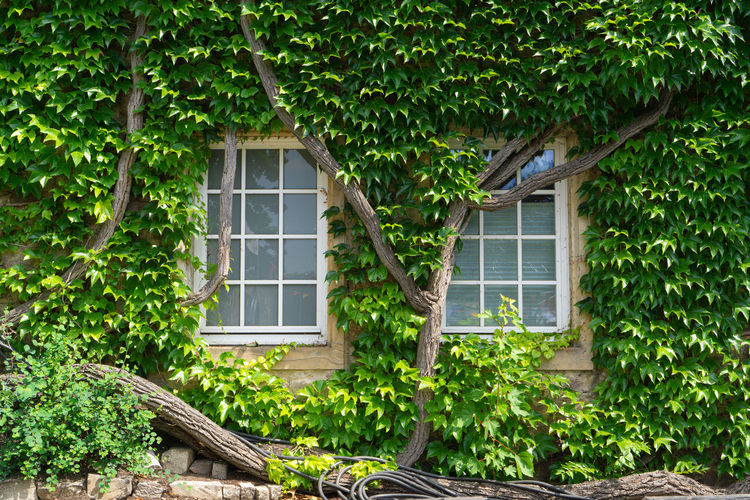 With vine leaves entwined window of an old house Window Ivy Building Vintage Background House Wall Green Summer White Old Plant Architecture Garden Exterior Nature Leaf Outdoor Glass Home Rural Medieval Vine Natural Decoration Growth Wooden Cover Foliage Façade Growing Grow Front Overgrown Entwined Building Exterior Built Structure Tree Residential District Green Color Day No People Outdoors Plant Part Wood - Material Beauty In Nature Cottage Window Frame