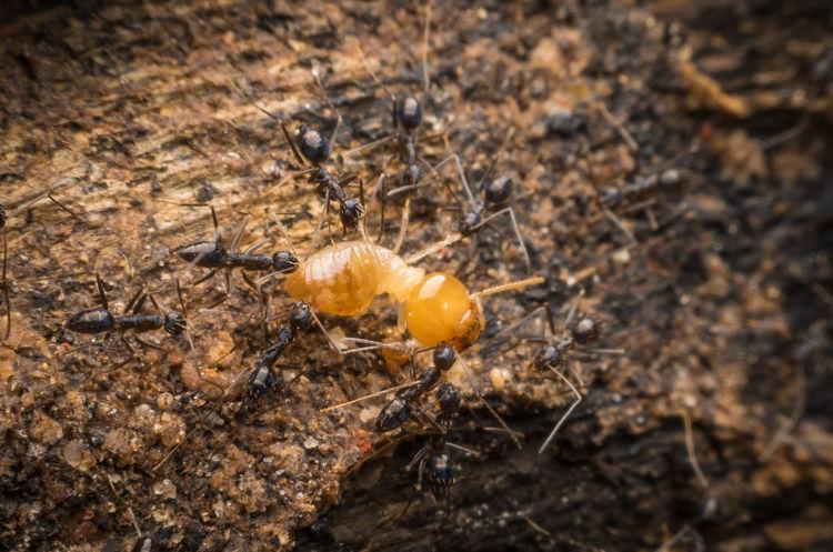 Robber Nest Termite