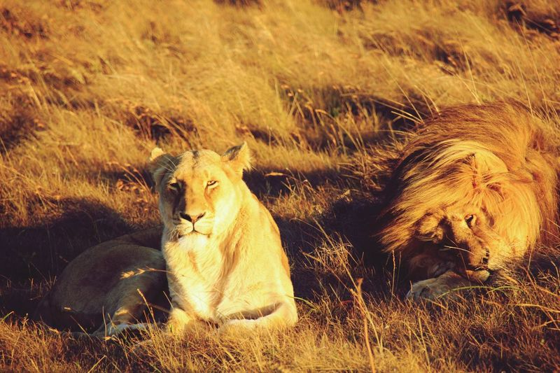 Lion Couple Animal Themes Lion Field Sunset No People EyEmNewHere No Filter No Edit/no Filter No Filter, No Edit, Just Photography Nofilter
