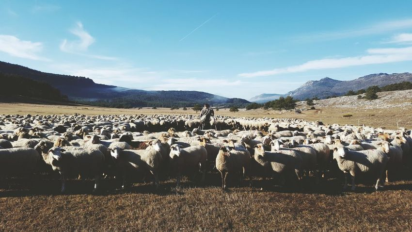 Mountain Landscape Berger Animals France Transhumance Man And Animal Calm Solitude Tranquility EyeEm Sheeps Eyeemphotography Animal Themes Enjoy The New Normal What Who Where Eyem Best Shots My Year My View Traveling Home For The Holidays Resist Lost In The Landscape
