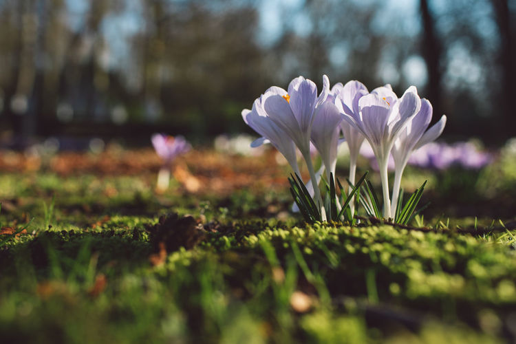 Crocus Crocus Flower Flower Flowering Plant Flowers Macro Close-up Selective Focus Nature Beauty In Nature Springtime Low Angle View Green Growth Freshness No People Inflorescence Purity Tranquility