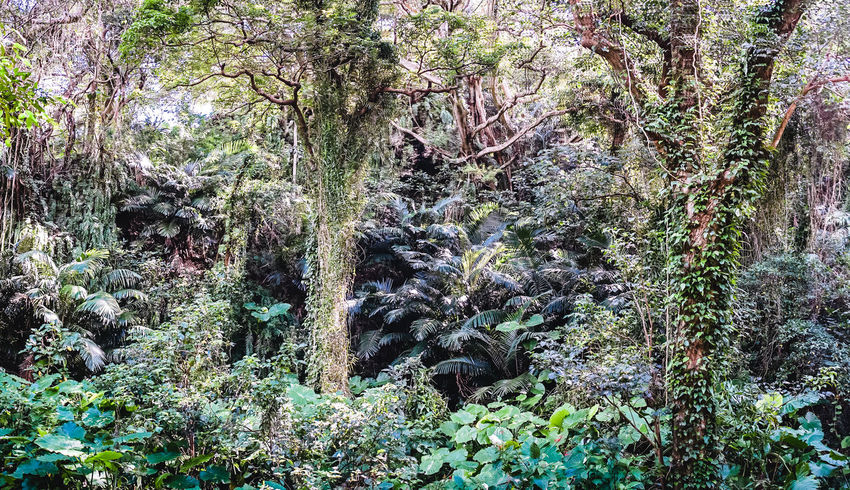 Travel In Japan Outdoor Inspiration Mysticalwanderer Mystical Place Mystical Forest :) Japan Travel Photography Okinawa Adventure Forestwalk Jungle Trekking TrekkingDay Adventure Is Out There Nature Day Sightseeing Okinawa 沖縄 Nature Photography Green Plants