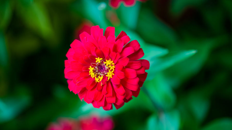 The Red Lady Beauty In Nature Bloom Blooming Blossom Botany Close-up Day Flower Flower Head Focus On Foreground Fragility Freshness Growth In Bloom Nature Nature Photography Outdoors Petal Pink Maximum Closeness Plant Pollen Red Single Flower Vibrant Color