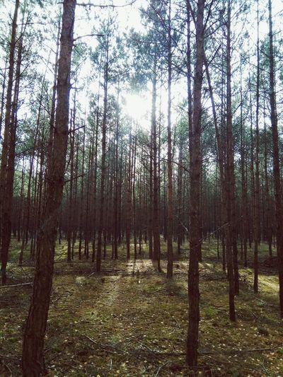 Forest Goldpolishautumn Tree Forest Branch Tree Trunk Sky Landscape