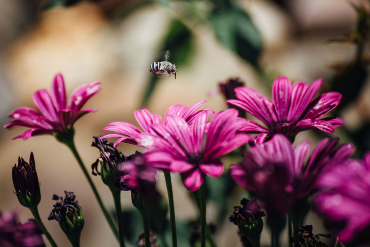 Flying bee Caucasian Honey Bee Wing Animal Animals In The Wild Beauty In Nature Bee Close-up Flower Flower Head Flowering Plant Flying Fragility Freshness Grey Bee Growth Honey Bee Hovering Insect Nature Outdoors Petal Plant Pollination Purple Spring