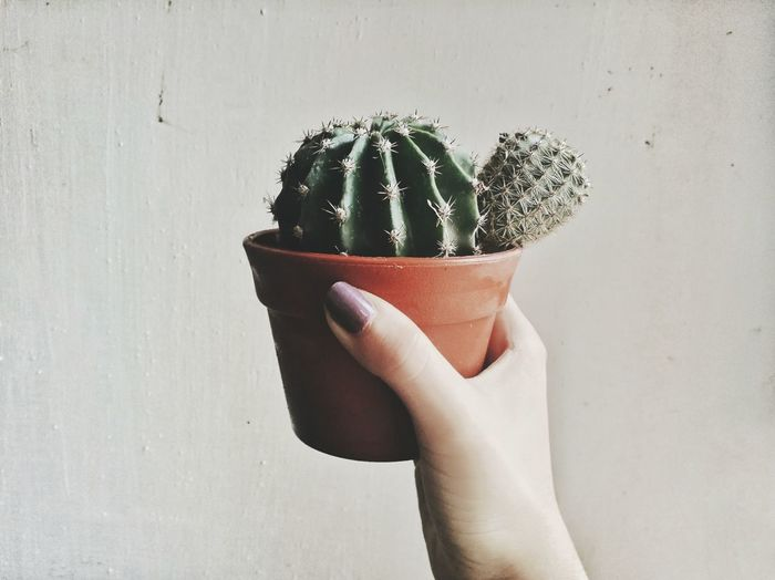Close-up of hand holding cactus against wall