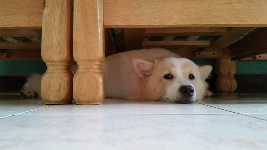 Close-up of dog peeking under bed