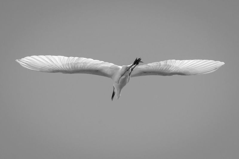 Birds Of EyeEm  Egrets Nature Nikon Nikon D500 Wildlife & Nature Wildlife Photography Animal Themes Animals In The Wild Bird Birdphotography Birdsinflight Black And White Day Flying Great Egret Inflight Mid-air No People One Animal Outdoors Photography Spread Wings White Color Wildlife
