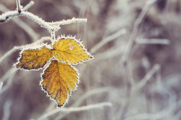 Frosty leaves Frost Autumn Beauty In Nature Close-up Cold Temperature Foliage Fragility Frosty Frozen Leaf Leaves Nature Winter