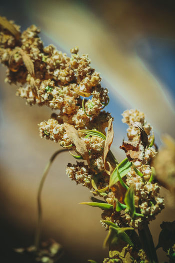 Quinoa Plant